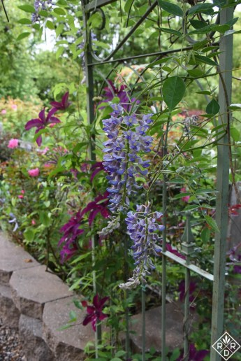 Wisteria 'Kentucky Blue' with 'Huvi' clematis.