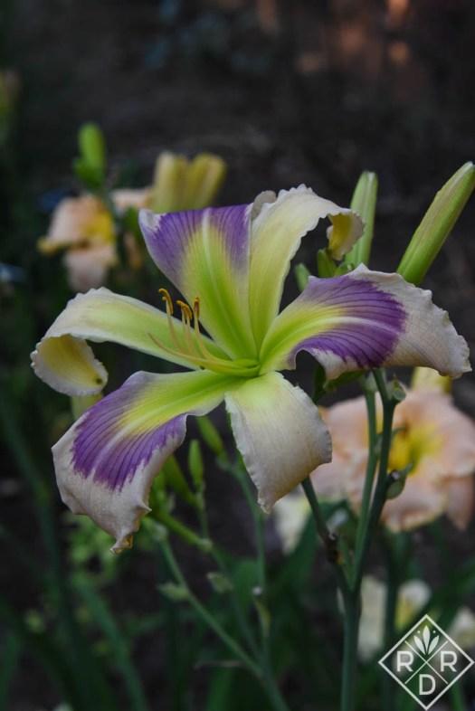 Hemerocallis 'Navajo Pony' has a wonderful eyezone and a beautiful green throat.