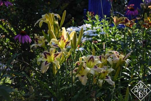 Hemerocallis 'Wild and Wonderful' with echinacea echoing the daylily's patterned eye.
