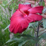 """Hibiscus My Valentine grows to 48"""", but it's still pretty short in my garden."""