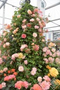 A beautiful tower of Stamford's Sanctuary rose by Peter Beales' Roses in the Great Pavilion.