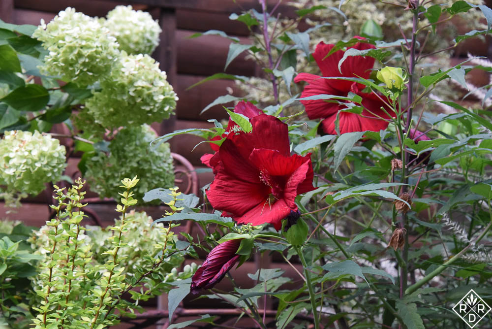 Ornamental gardens. Hibiscus My Valentine with Limelight hydrangea and a lime green barberry.