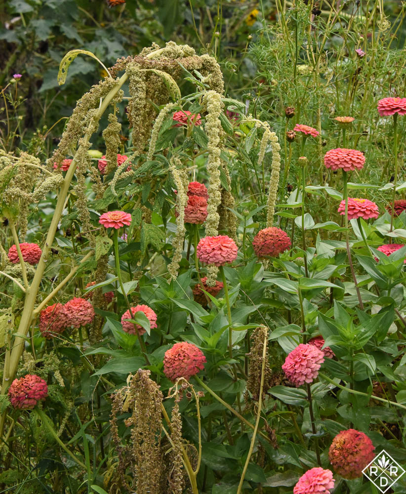 Zinnia and amaranth in the vegetable/cutting garden.