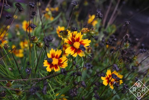 Coreopsis Li'l Bang™ 'Daybreak' has been pretty all summer, and with deadheading will bloom again.