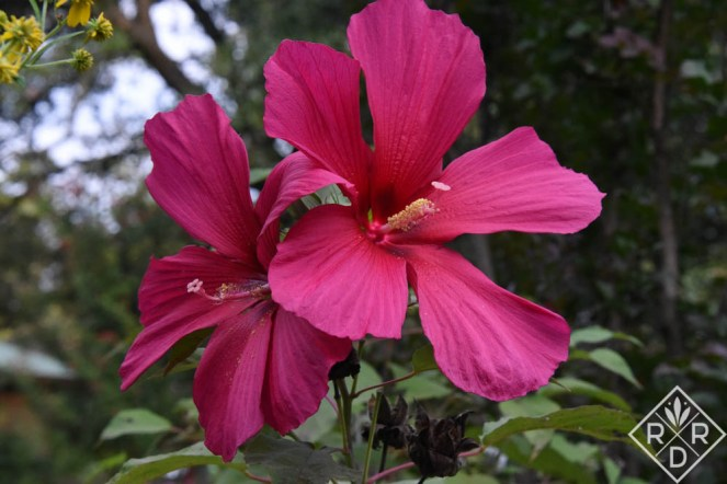 Hibiscus 'Moy Grande' will always have a place in my garden. Bumbles love it, and, as the name says, the blooms are huge.