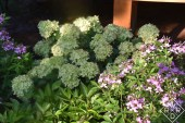 H. paniculata Little Lime® with Senorita Rosalita® cleome, both Proven Winners selections.