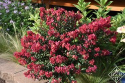 Tightwad Red crapemyrtles with Quick Fire hydrangea behind. See how the red of the stems echo with the blooms of the crapemyrtle?