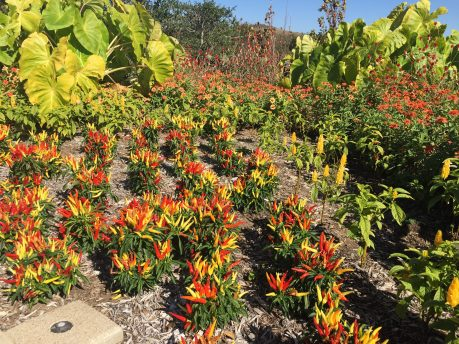 Ornamental peppers and elephant ears are plants in the floral terraces for summer-long color.