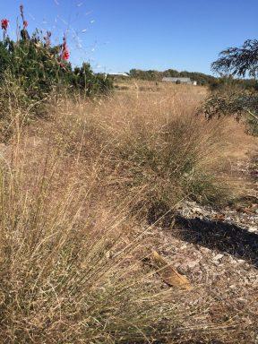 Muhlenbergia reverchonii 'PUNDO1 S' UNDAUNTED® ruby muhly grass in the Tulsa Botanic Garden.