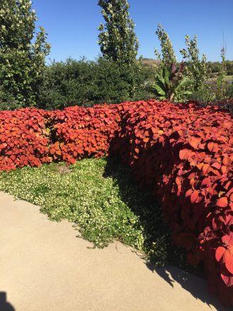 'Campfire' coleus grown as a hedge in the garden.