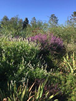 Several salvia varieties in the dry garden terrace.