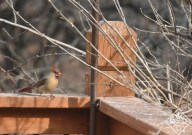The same female Cardinal now sitting on the deck.