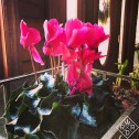 Hot pink cyclamen says hello!