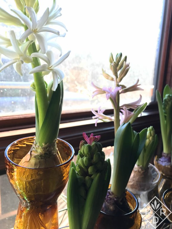 Hyacinths from Aldi's I bought the week before. They are beautiful. I lean them against the window to stop them from falling over.