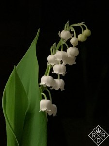 Forcing lily of the valley is a great way to smile through winter.