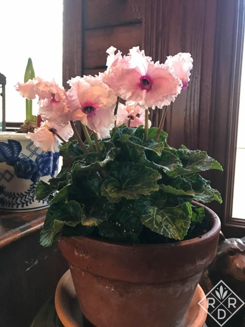 Ruffled cyclamen from TLC Nursery. I got there just as they were putting them on display.