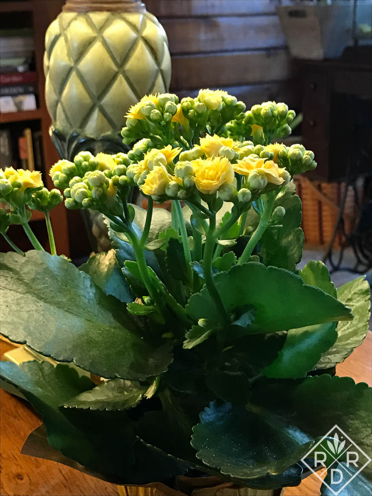 A yellow kalanchoe brightens my day as I sit on the sofa and read.