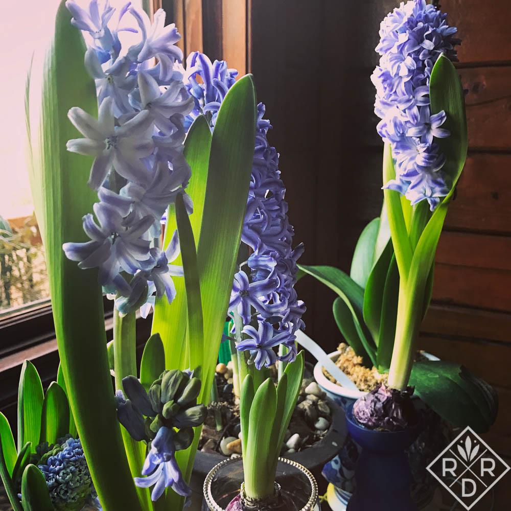 Hyacinths 'Delft Blue' Garden Bloggers Bloom Day