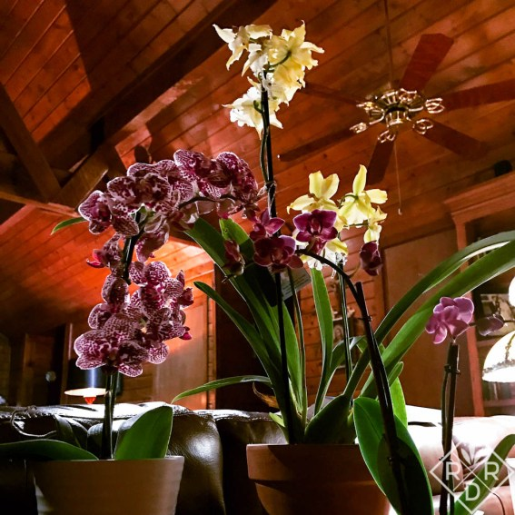More orchids against the cathedral ceilings in our log cabin.