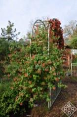 Another view of 'Tangerine Beauty' crossvine with 'Dropmore Scarlet' honeysuckle.