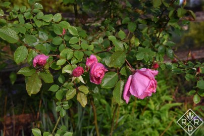 'Carefree Beauty' rose blooming so well so early.