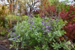 In the same bed, 'Purple Smoke' baptisia sits next to 'Orange Rocket' barberry. I love purple and orange together.
