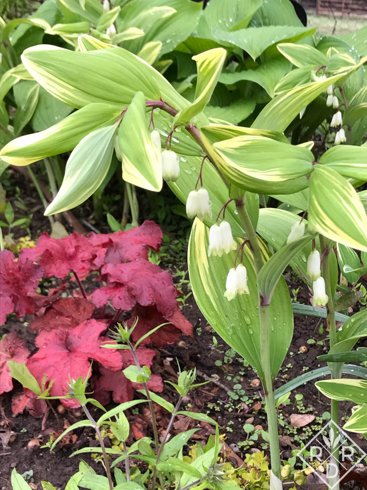 Polygonatum falcatum 'Variegatum,' variegated Solomon's seal with a red heuchera (I don't remember the variety.)