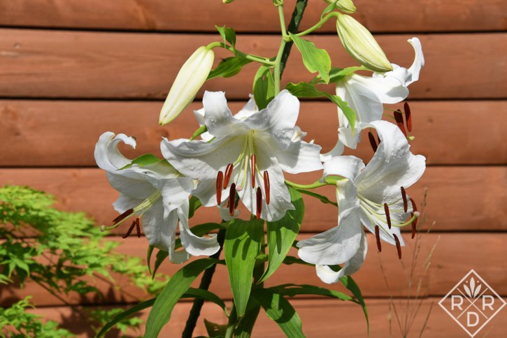 'Casa Blanca' is a pure white oriental lily. It has very fine petals and is quite beautiful. It's also been hard to get started in the best border in my garden. It is not that easy to grow here.