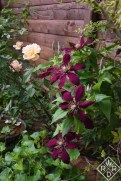 Clematis 'Niobe' clambering through my apricot climbing mystery rose.
