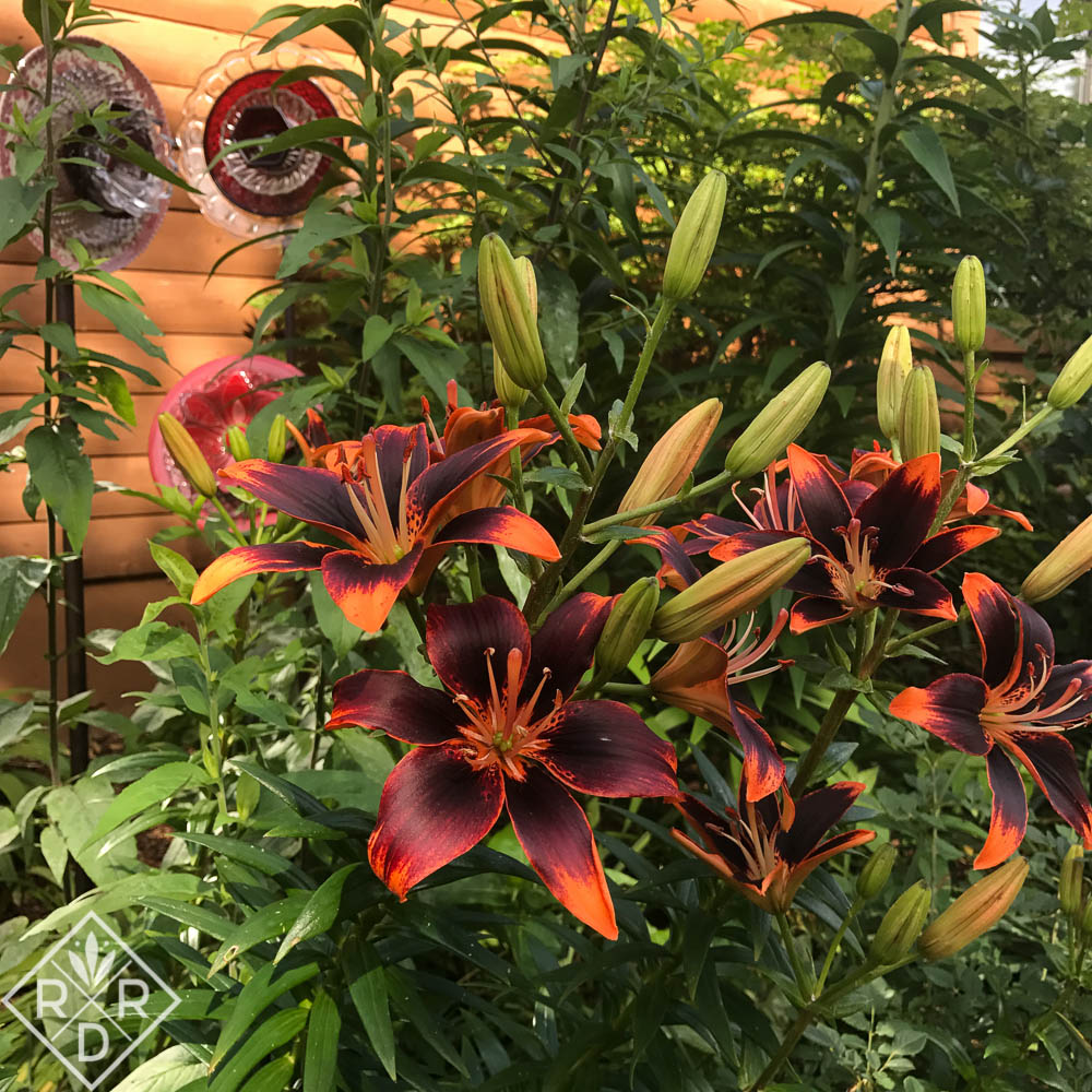 Plant lilies for summer garden drama - Red Dirt Ramblings®