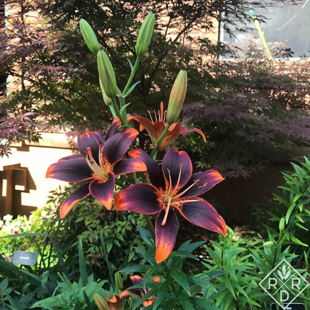 Lilium 'Forever Susan' planted in front of a red Japanese maple.