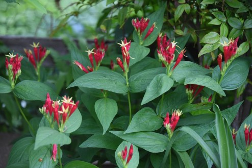 Spigelia marilandica, Indian pink, has the cutest pink/red and yellow flowers. It is an upright growing, small native perennial that is great for the front of the border.