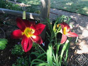A new plant I bought at the regional is actually an older cultivar. 'Cherokee Star' daylily. I love the brilliant red color.