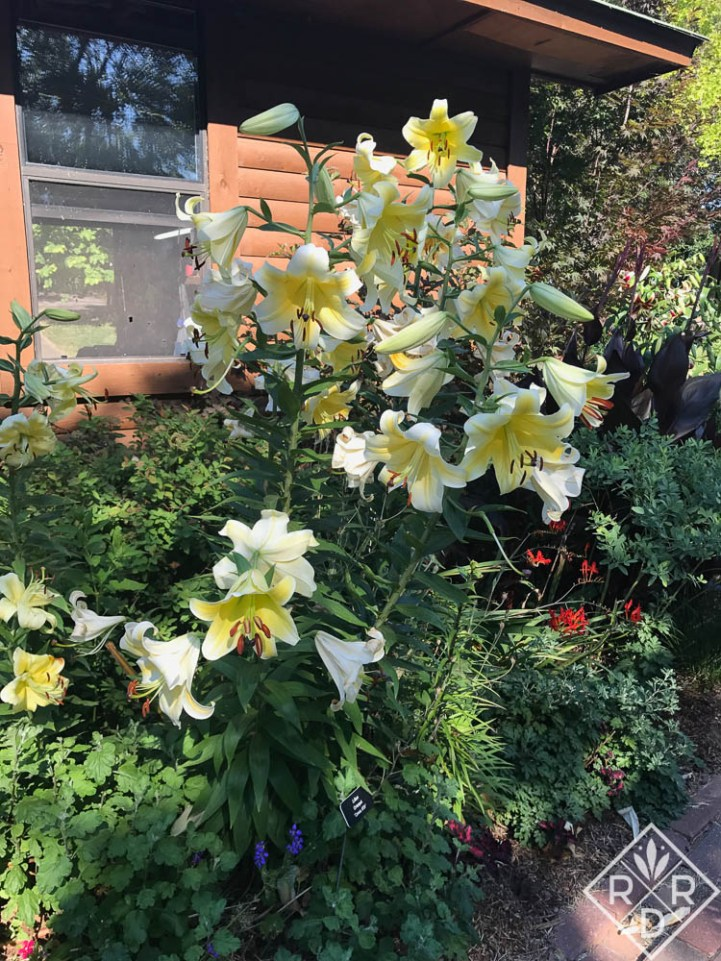 Lilium 'Conca d'Or' lily