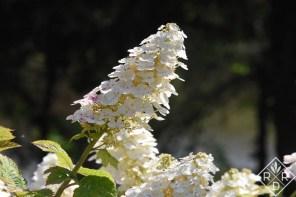 'Ruby Slippers' hydrangea