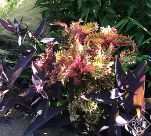'Peter's Wonder coleus was a huge hit with visitors. It is a very brittle coleus so keep that in mind if you buy and plant it. It needs some protection.