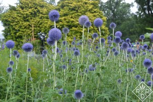 A sea of Echinops ritro in the cutting garden. Hillwood