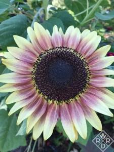 'Strawberry Blonde' sunflower.