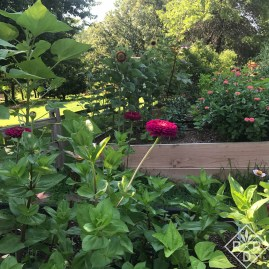 Zinnias and sunflowers in the raised beds