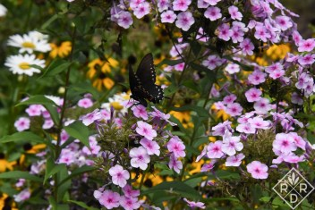 Eastern Black Swallowtail butterfly on 'Bright Eyes' phlox. At least that's what I think the butterfly is.