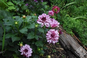 Some purple dahlia I planted that's fallen over. I need to prop it back up. This returned from last year. Sometimes they do.