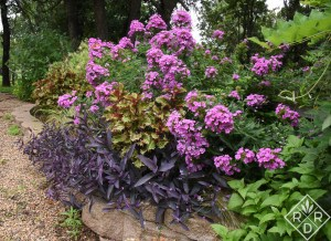 One of my favorite views in the garden. Heirloom Phlox paniculata, Tradescantia pallida 'Purple Heart', and 'Peter's Wonder' coleus are a study in purple shades.