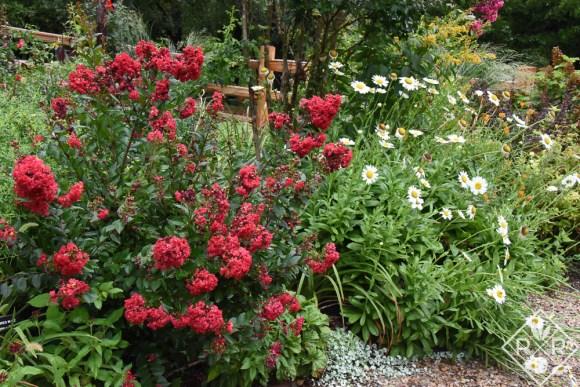 Red crapemyrtle and Leucanthemum × superbum 'Becky' shasta daisies