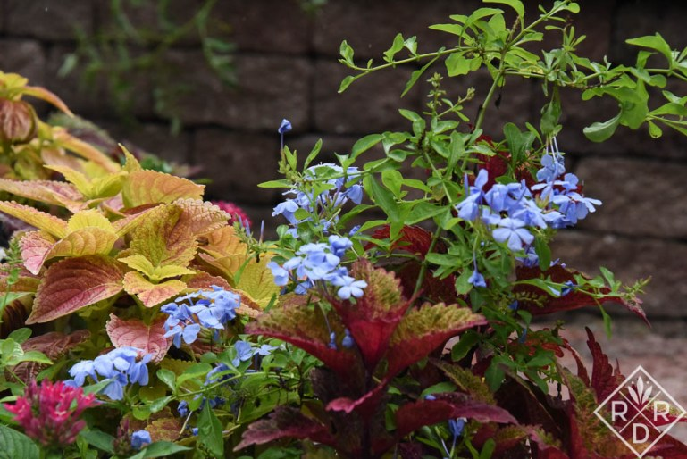 Plumbago auriculata, tropical or cape plumbago with Plectranthus scutellarioides 'Indian Summer' and 'Alabama Sunset' coleus. These are plants that should be in every Oklahoma garden unless you hate them of course.