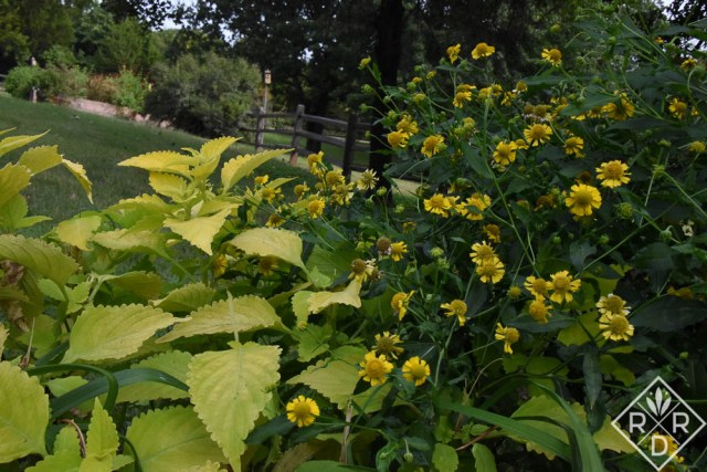 Next to this lime green coleus autumnal sneezeweed really shines.