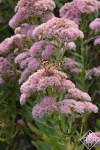 Painted Lady butterfly on stonecrop sedum. Painted Lady butterflies are abundant this year.
