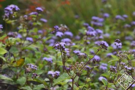 A closeup of Eupatorium coelestinum, mistflower or wild ageratum much belowed by butterflies.