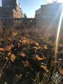 Heuchera on the High Line. Sorry about the sun flare.