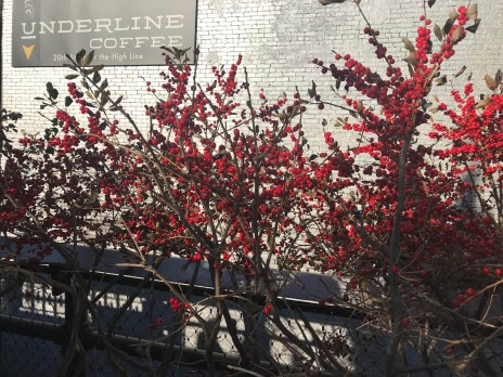 Ilex verticillata, winterberry holly loaded with beautiful berries