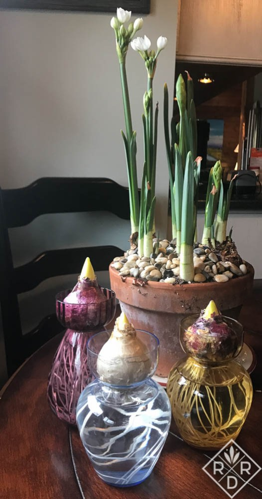 Bulbs I've forced, paperwhites and hyacinths. I just took these hyacinths out of the closet. I have some that are further along.